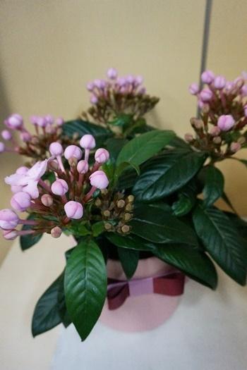 イイハナ 鉢植え「におい桜 ココ~ワンランク上の上質ギフト~」