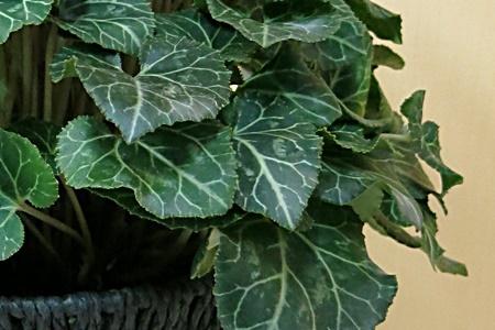 鉢植え「シクラメン セレナーディア アロマブルー~バスケット仕立~」