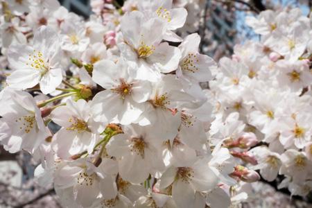 日比谷公園 2016年 桜